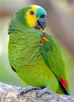 Blue-fronted Parrot coloring #15, Download drawings
