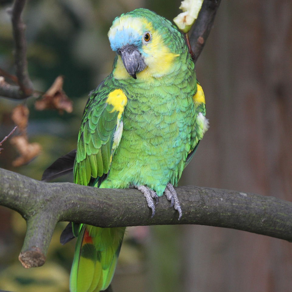 Blue-fronted Parrot coloring #13, Download drawings