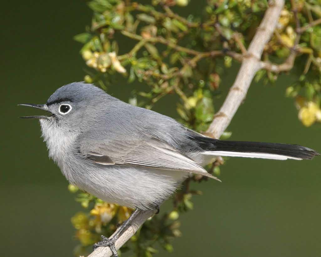 Blue-gray Gnatcatcher clipart #14, Download drawings