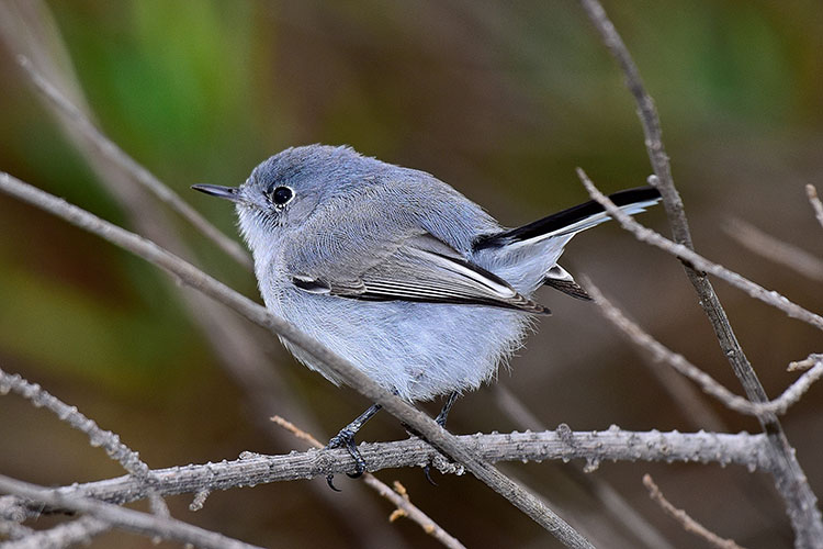 Blue-gray Gnatcatcher clipart #11, Download drawings