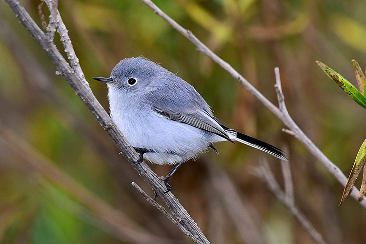Blue-gray Gnatcatcher clipart #12, Download drawings