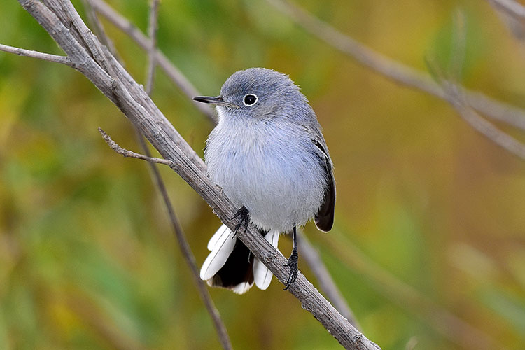 Blue-gray Gnatcatcher clipart #10, Download drawings