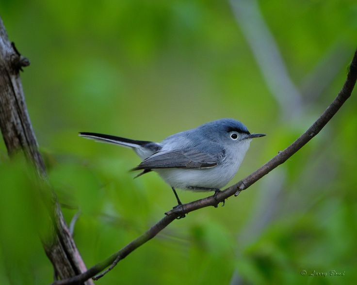 Blue-gray Gnatcatcher clipart #8, Download drawings