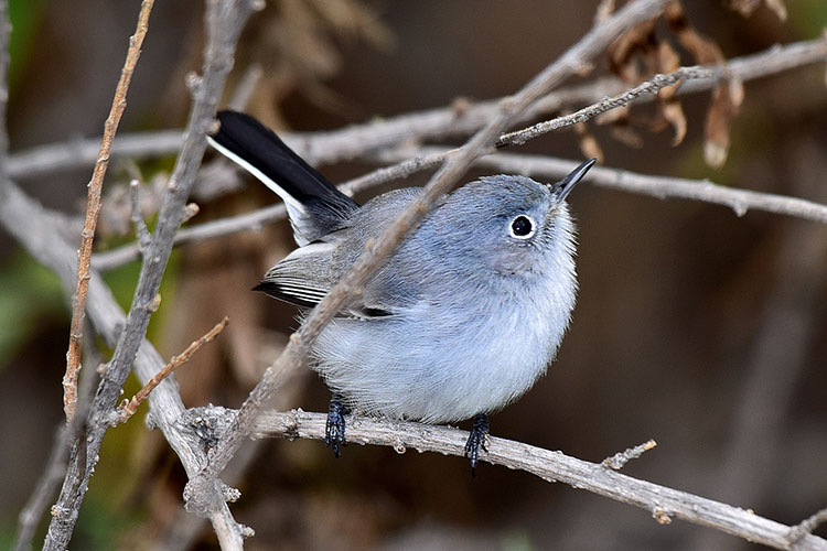 Blue-gray Gnatcatcher clipart #5, Download drawings