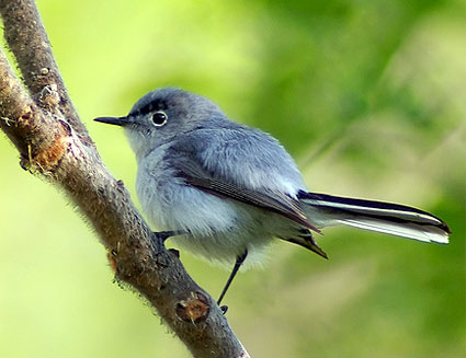 Blue-gray Gnatcatcher clipart #4, Download drawings