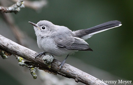 Blue-gray Gnatcatcher clipart #6, Download drawings