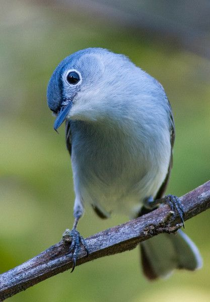 Blue-gray Gnatcatcher clipart #9, Download drawings