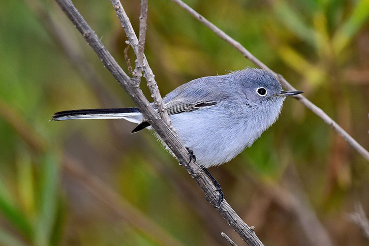 Blue-gray Gnatcatcher clipart #1, Download drawings