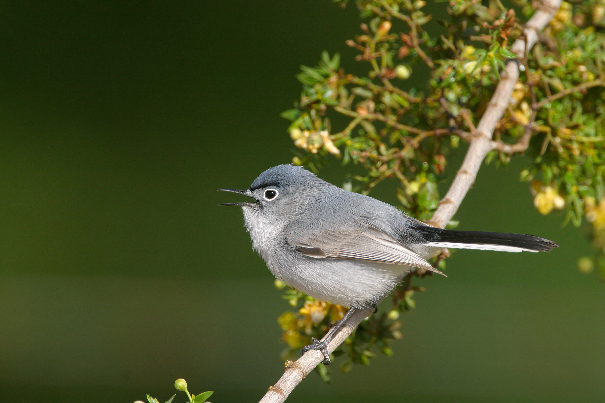 Blue-gray Gnatcatcher clipart #7, Download drawings