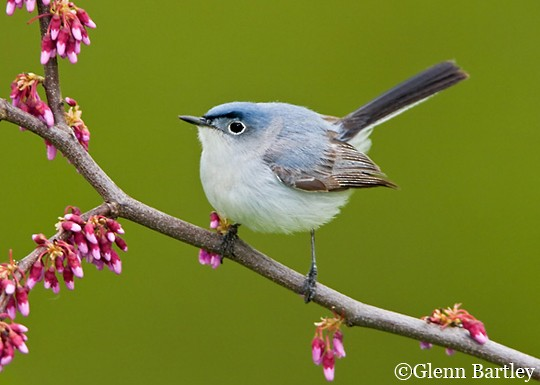 Blue-gray Gnatcatcher clipart #2, Download drawings