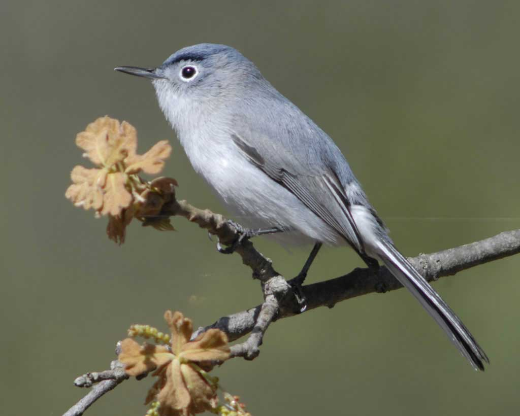 Blue-gray Gnatcatcher clipart #15, Download drawings