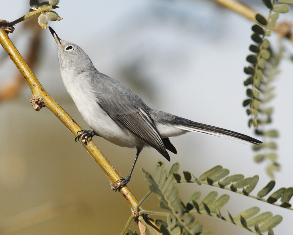 Blue-gray Gnatcatcher clipart #16, Download drawings