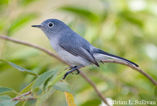 Blue-gray Gnatcatcher clipart #19, Download drawings