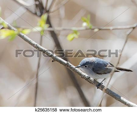 Blue-gray Gnatcatcher clipart #18, Download drawings