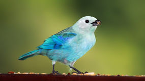 Blue-grey Tanager clipart #20, Download drawings