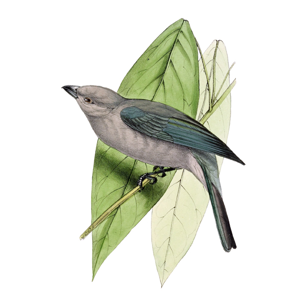 Blue-grey Tanager clipart #4, Download drawings
