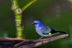 Blue-grey Tanager clipart #14, Download drawings