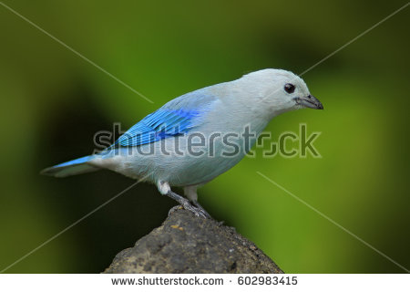 Blue-grey Tanager clipart #9, Download drawings