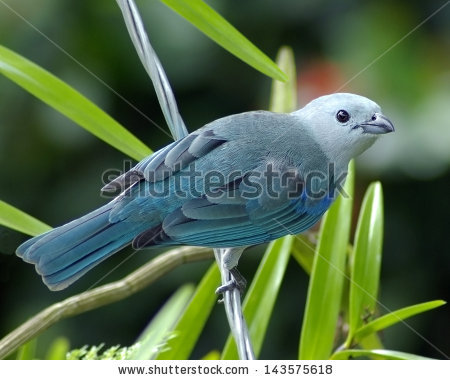 Blue-grey Tanager clipart #7, Download drawings