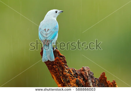 Blue-grey Tanager clipart #5, Download drawings