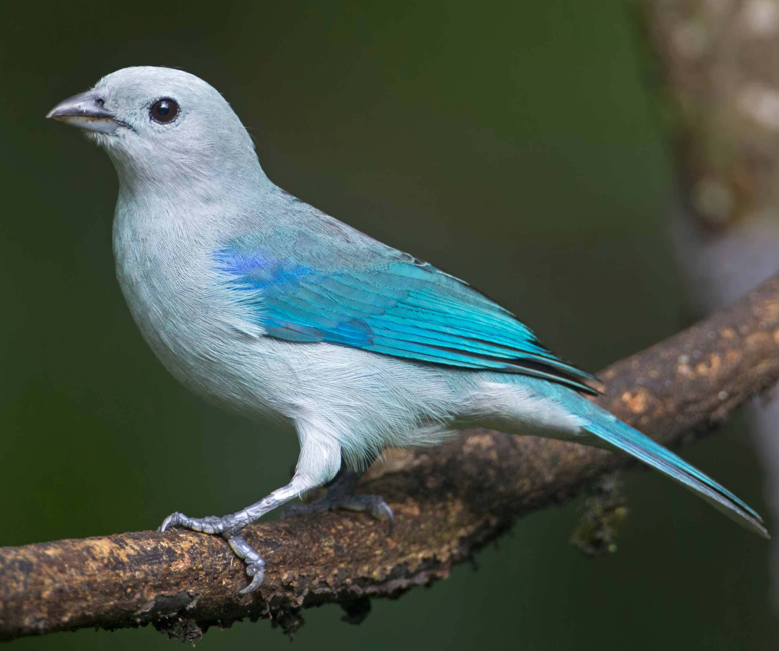 Blue-grey Tanager clipart #1, Download drawings