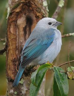 Blue-grey Tanager clipart #6, Download drawings