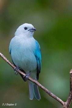 Blue-grey Tanager clipart #3, Download drawings