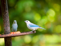 Blue-grey Tanager clipart #8, Download drawings