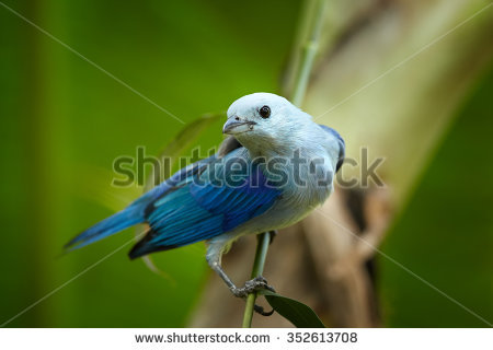 Blue-grey Tanager clipart #17, Download drawings