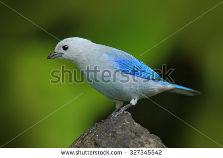 Blue-grey Tanager clipart #18, Download drawings