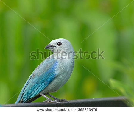 Blue-grey Tanager clipart #13, Download drawings
