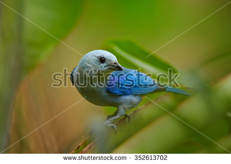 Blue-grey Tanager clipart #10, Download drawings