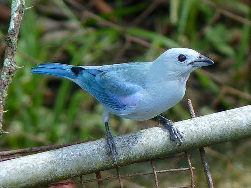 Blue-grey Tanager clipart #16, Download drawings