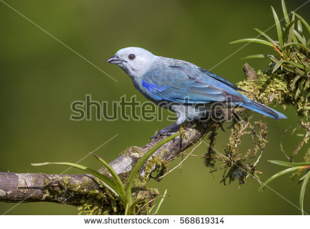 Blue-grey Tanager clipart #11, Download drawings