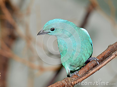 Blue-grey Tanager clipart #15, Download drawings