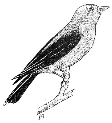 Scarlet Tanager coloring #3, Download drawings