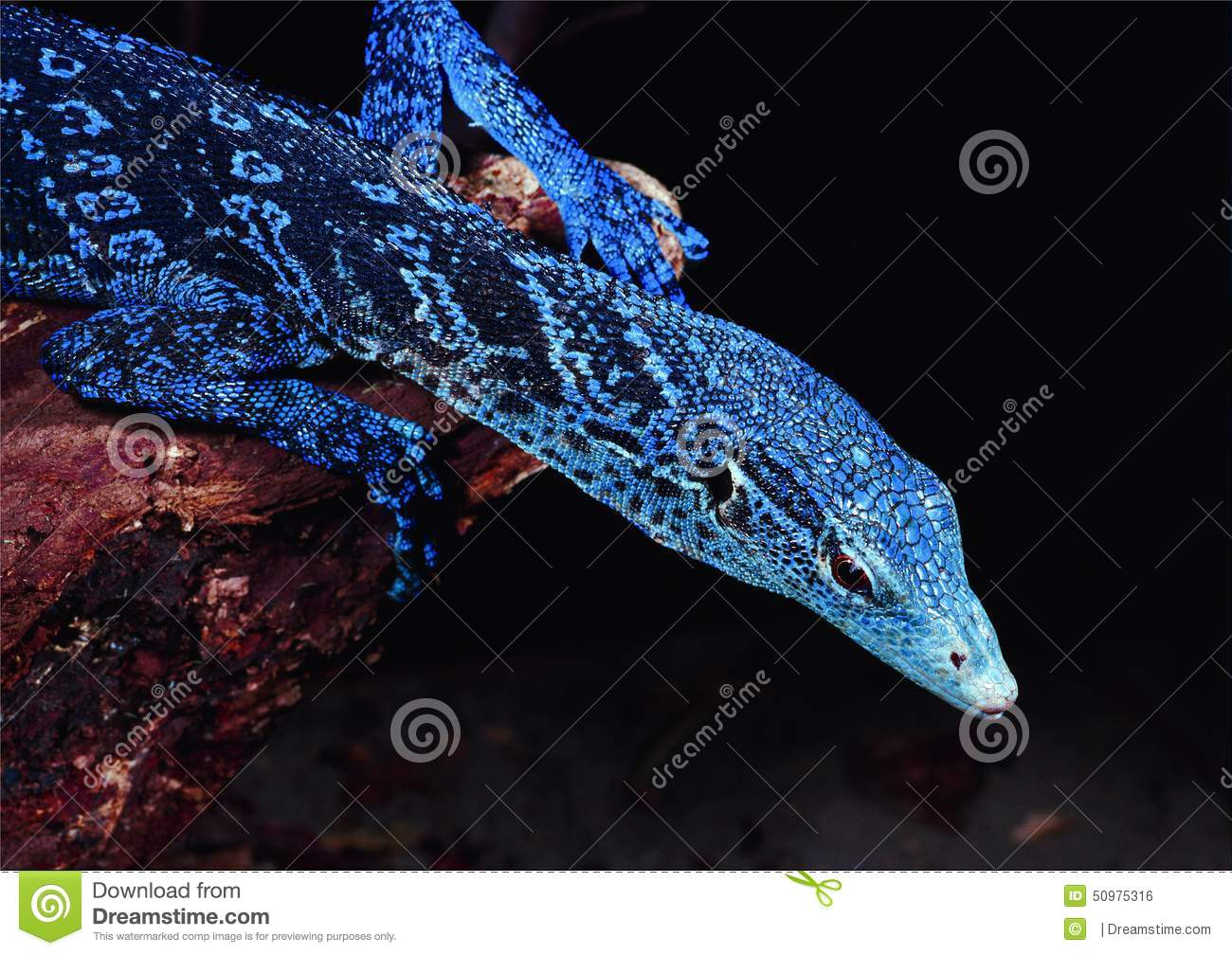 Blue-spotted Tree Monitor clipart #11, Download drawings