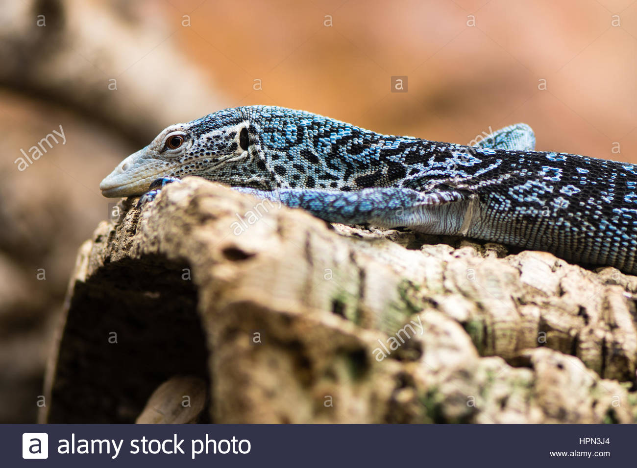 Blue-spotted Tree Monitor clipart #5, Download drawings