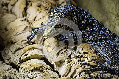 Blue-spotted Tree Monitor clipart #7, Download drawings