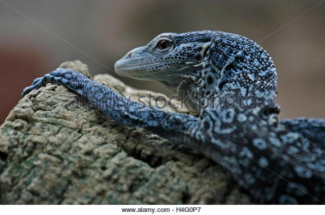 Blue-spotted Tree Monitor clipart #15, Download drawings