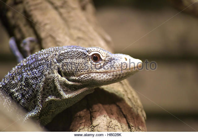 Blue-spotted Tree Monitor clipart #16, Download drawings