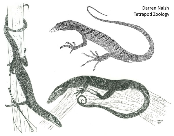 Blue-spotted Tree Monitor coloring #14, Download drawings