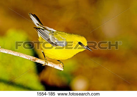Blue-winged Warbler clipart #13, Download drawings