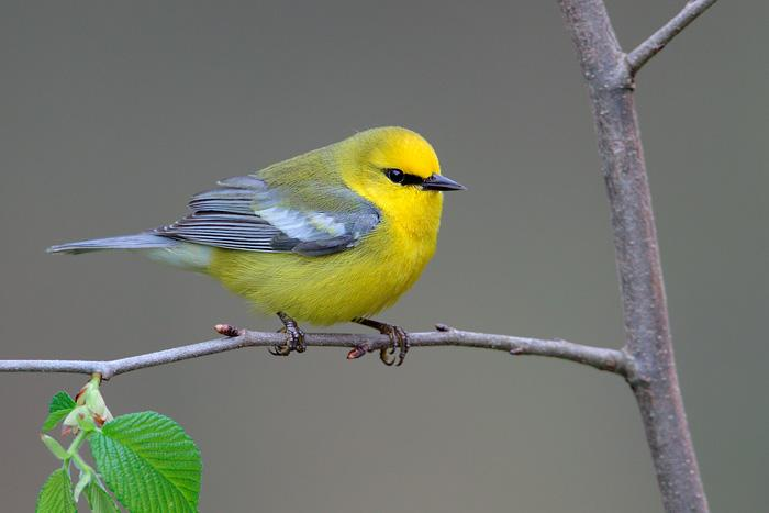 Blue-winged Warbler clipart #4, Download drawings