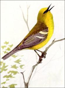 Blue-winged Warbler clipart #15, Download drawings