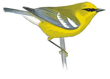 Blue-winged Warbler clipart #12, Download drawings