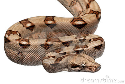 Boa Constrictor clipart #17, Download drawings