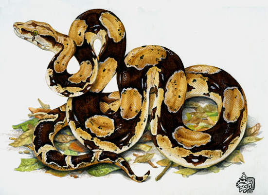 Boa Constrictor clipart #3, Download drawings