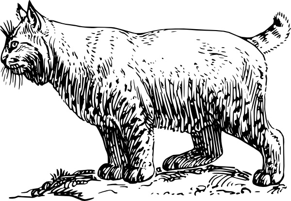 Bobcat clipart #12, Download drawings