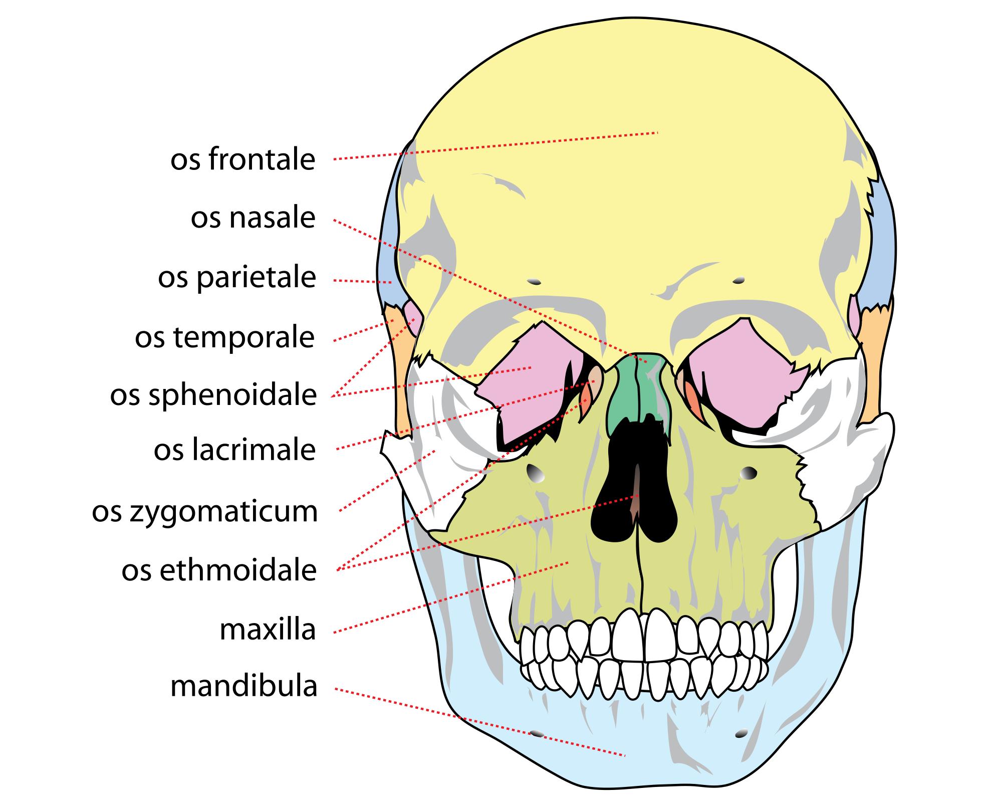 Bones svg #8, Download drawings